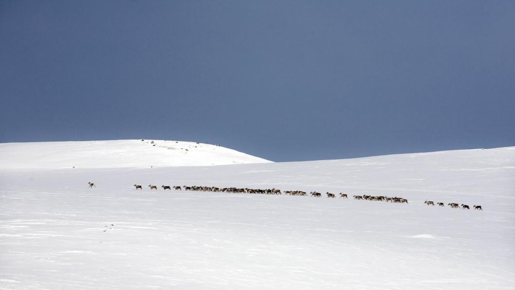 Villreien på Hardangervidda er Europas siste. Her fotografert ved Fagerheim etter at de hadde krysset riksveien for noen år siden.