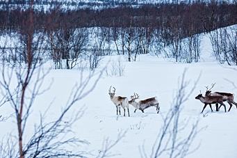 Vil stoppe sprengning på grunn av reinsdyr