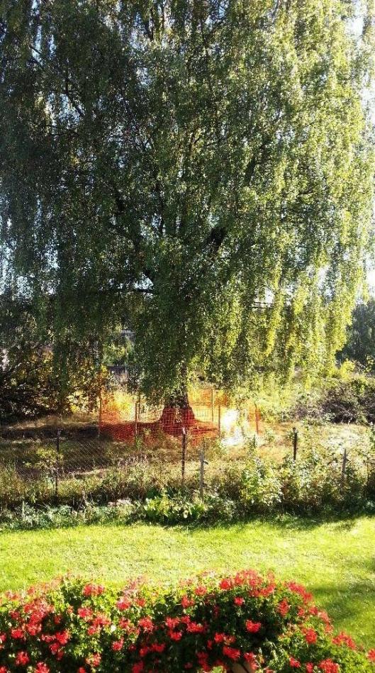 Slik ser det gamle treet ut i sommerdrakt.