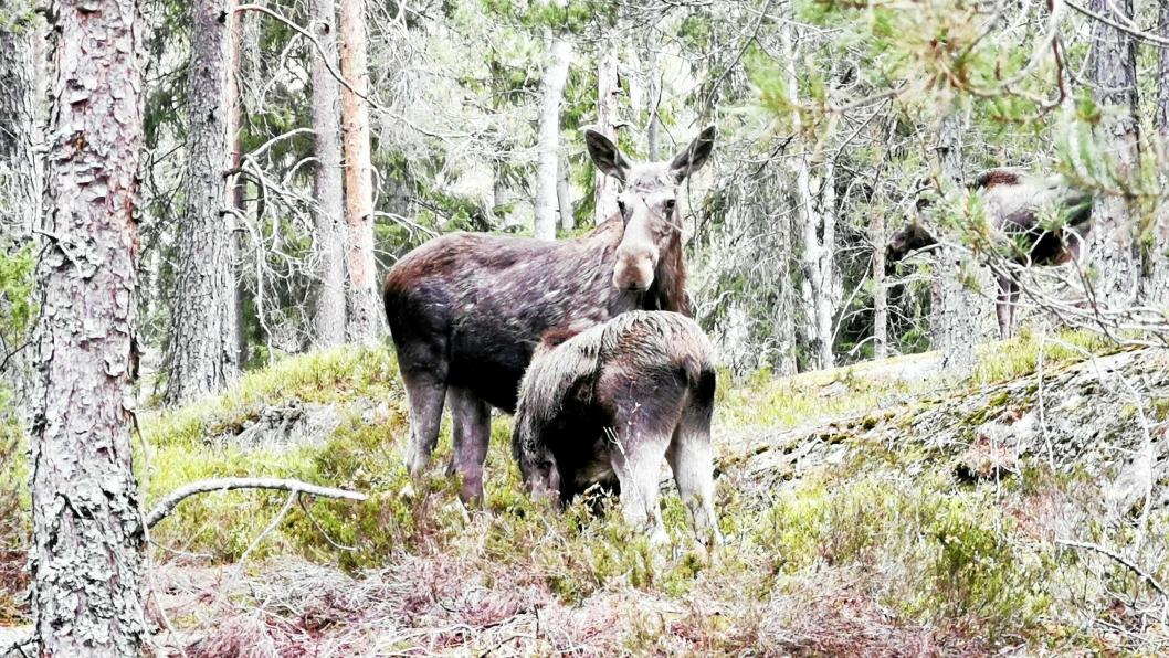8800 hjortedyr ble påkjørt av bil eller tog i jaktåret 2018/2019.1500 av disse var elger.