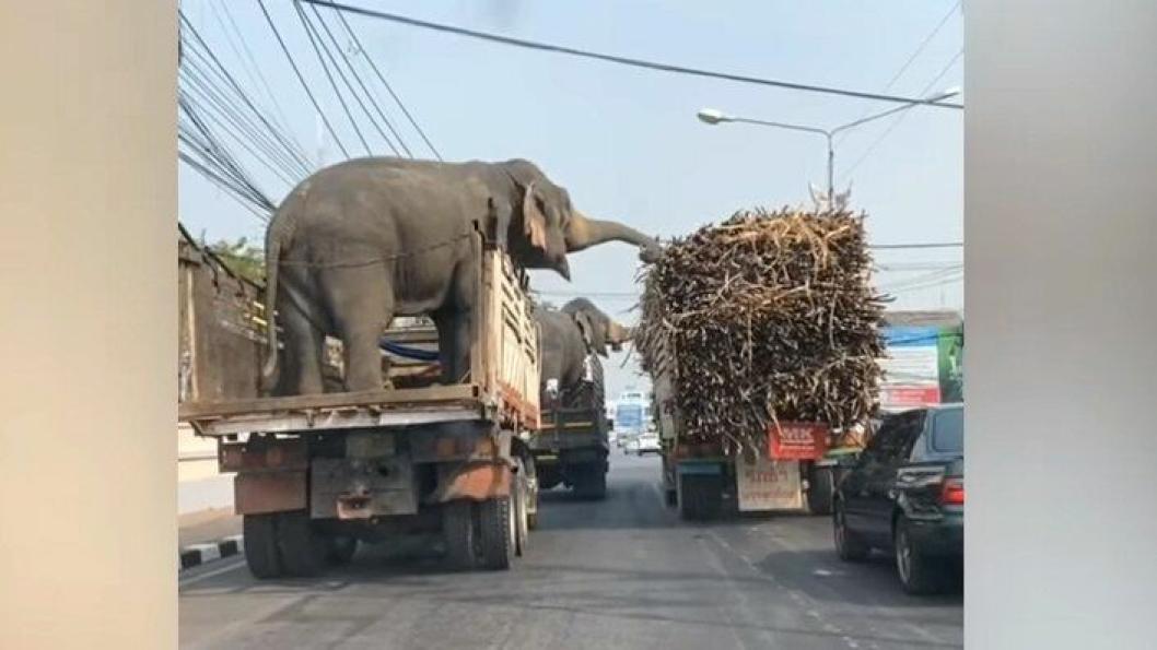 Elefanter sukkerror Thailand